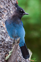 A Steller Jay Sighting