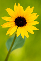 North Dakota Nature Photograph - Painted Canyon Sunflower
