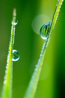 North Dakota Nature Photograph - Drops of Dew