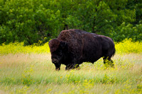 North Dakota Wildlife Photograph - The Long Walk